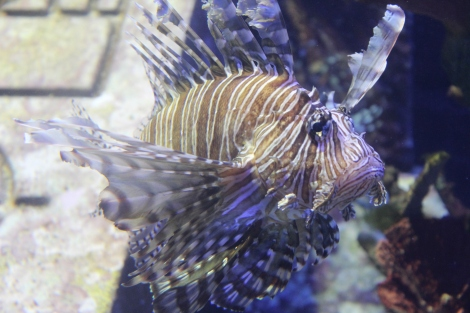 A Lion Fish! Scary looking, and poisonous. And overtaking our reefs in the Caribbean. They are actually encouraging people to eat them. Jesse and I enjoyed some in Puerto Rico a couple years ago. Tender, flaky white meat. Delicious!