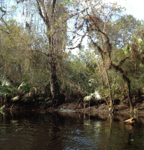 That's a gator chillin in the river. Needless to say I found a burst of energy to paddle away very quickly.